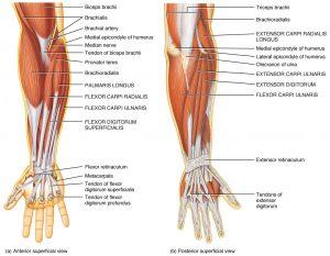 muscolatura gomito